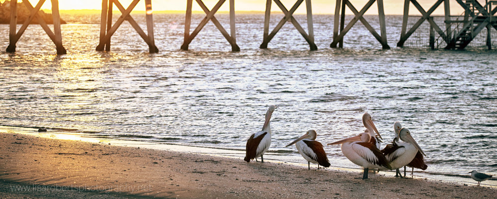 Pelicans of Smoky Bay, South Australia