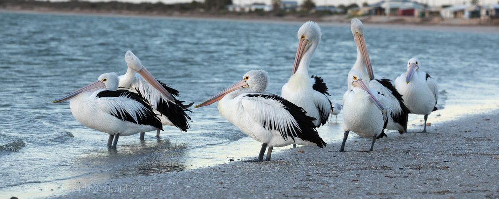 Pelicans, Smoky Bay, South Australia