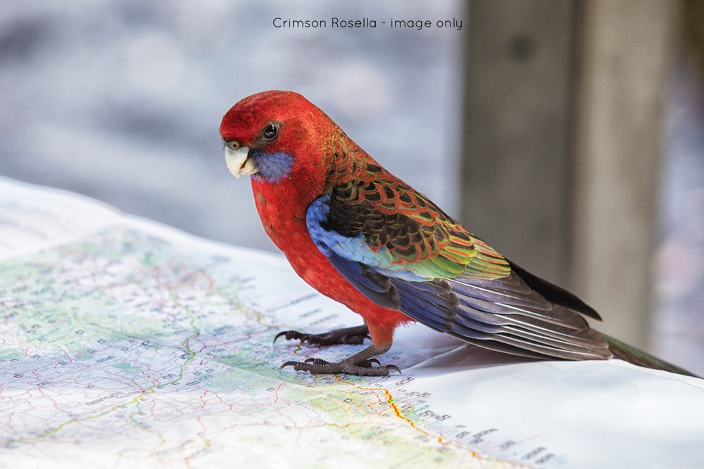 Crimson Rosella - image only