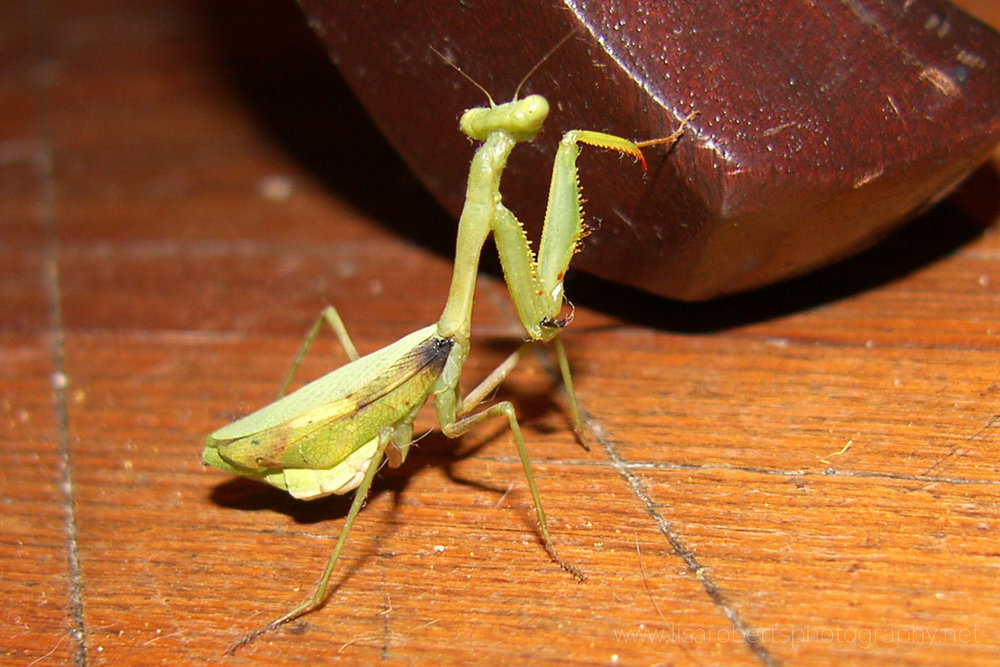 Preying mantis, Cape Town, Western Cape, South Africa
