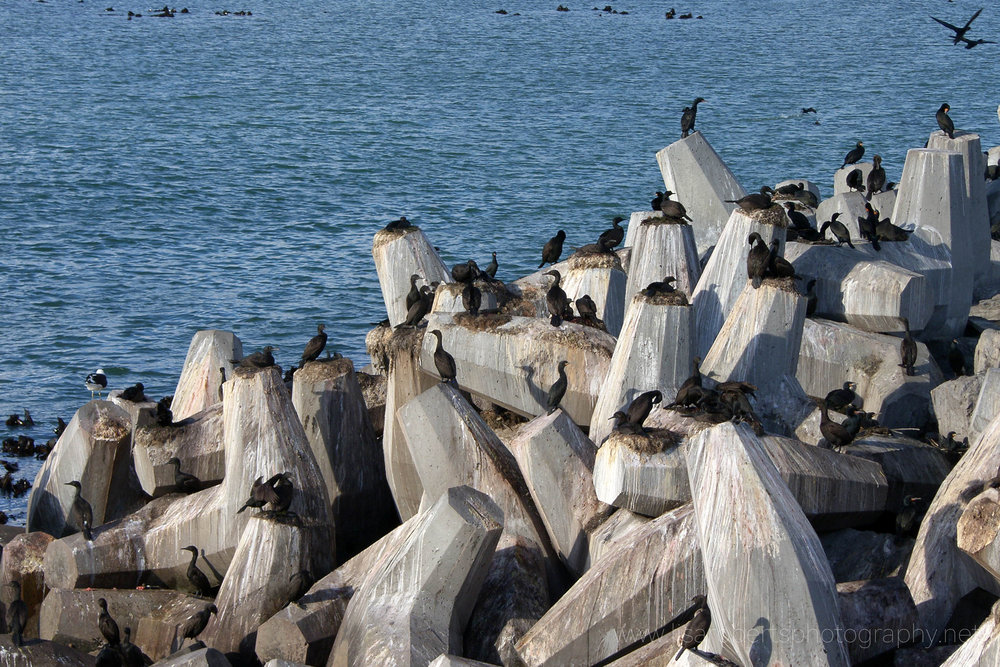 Bank Cormorants on the short arm on Robben Island, Western Cape, South Africa