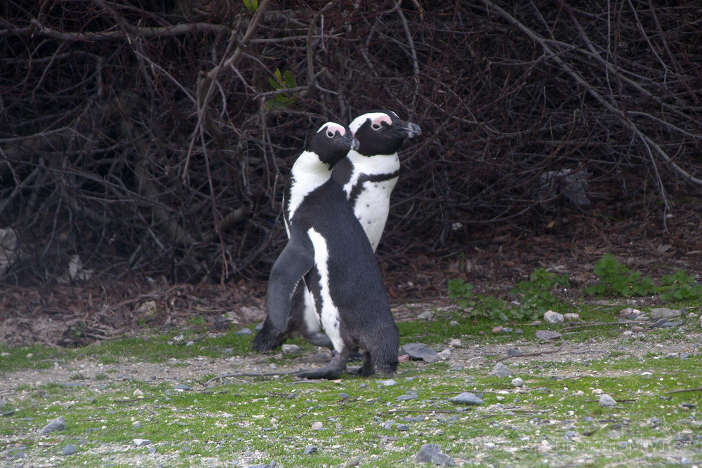 African Penguins, Robben Island, Western Cape, South Africa