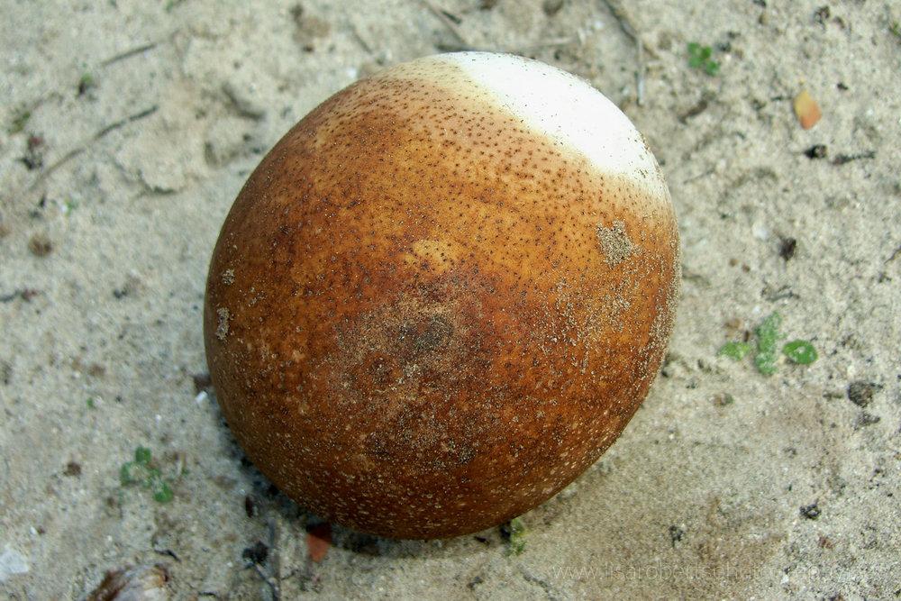 Ostrich egg,Robben Island Prison, Robben Island, Western cape, South Africa