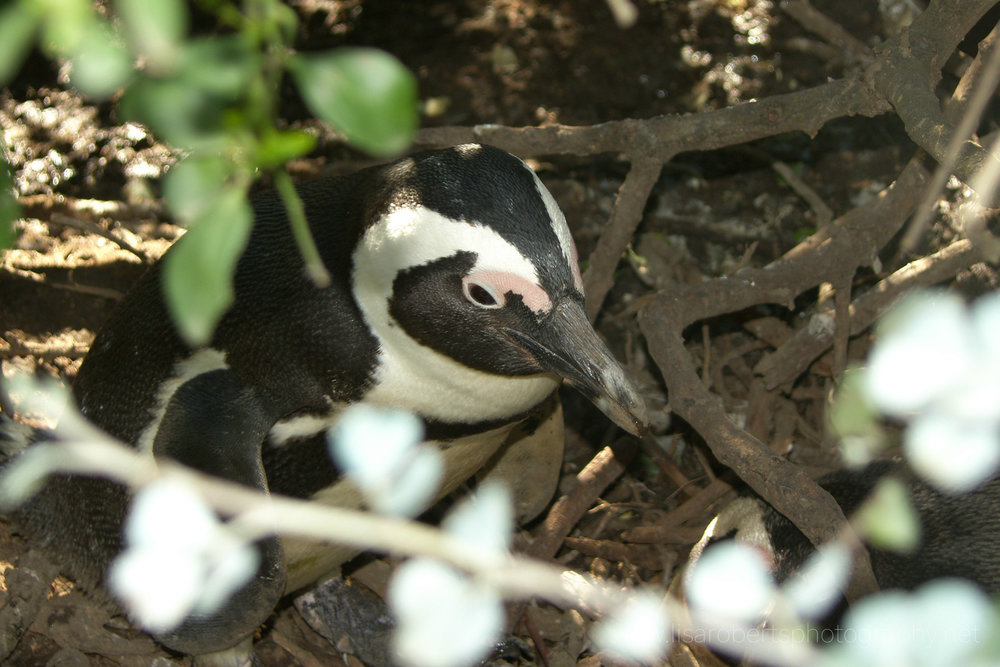 African Penguin, Boulders Beach, Simons Town, Cape Peninsula, Western Cape, South Africa