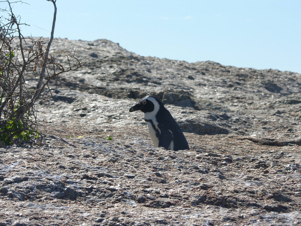 African Penguin,Boulders Beach, Simons Town, Cape Peninsula, Western Cape, South Africa