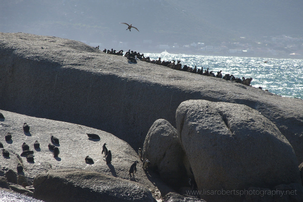 African Penguins, Boulders Beach, Simons Town, Cape Peninsula, Western Cape, South Africa