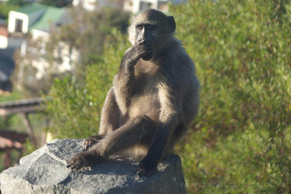 Chacma Baboon, Western cape, South Africa