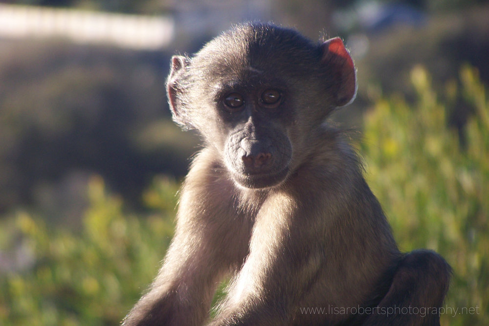 Infant Chacma Baboon, Western cape, South Africa