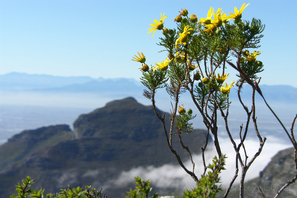 Wild Flowers on top of Table Mountain, Cape Town, Western Cape, South Africa