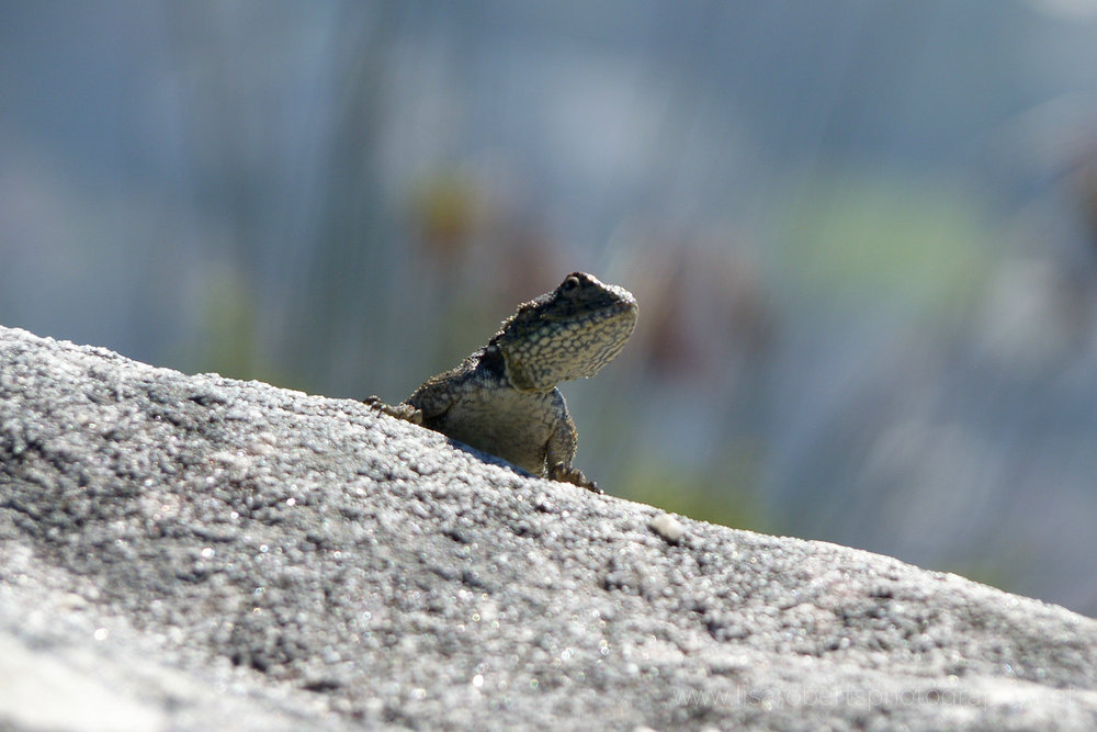 Black Girdled Lizard on top of Table Mountain, Cape Town, Western Cape, South Africa