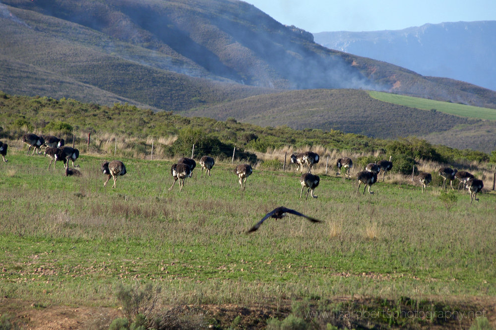 Ostriches and birds of prey, Western Cape, South Africa