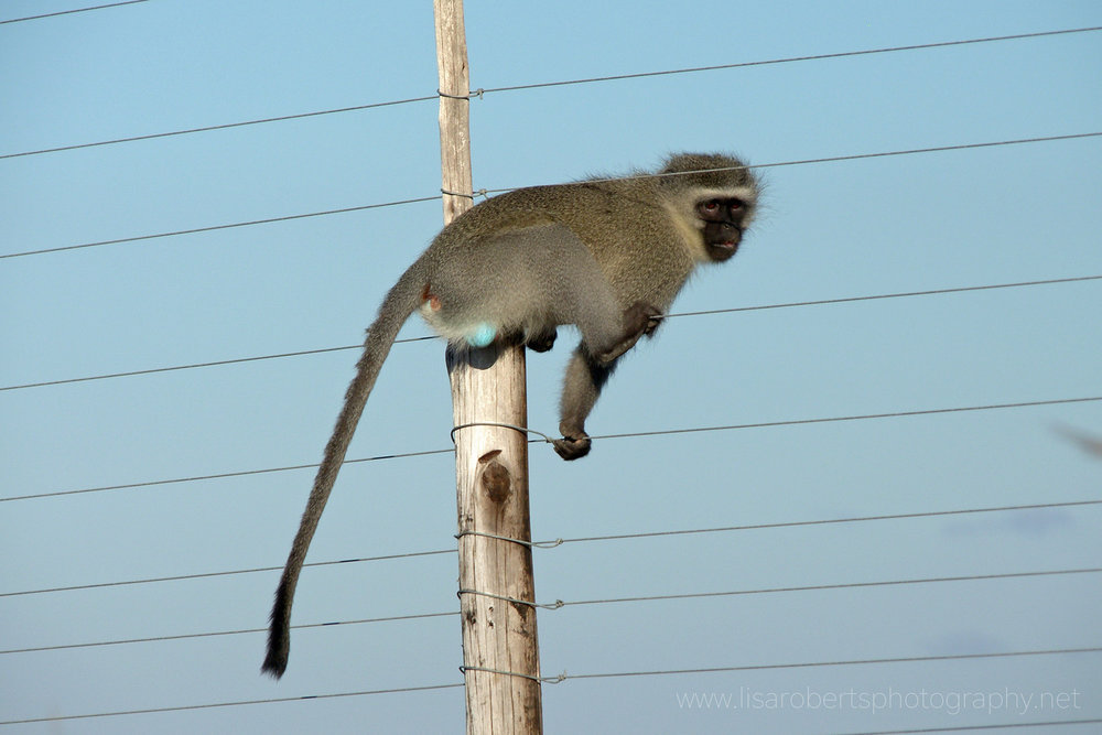Vervet monkey, Western Cape, South Africa