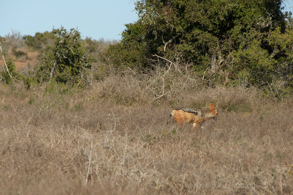 Black-backed Jackal, Addo Elephant Park, Eastern cape, South Africa