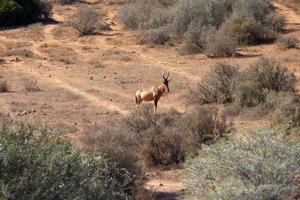 Red Hartebeest, Addo Elephant Park, Eastern cape, South Africa