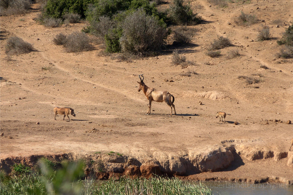 Warthog and Hartebeest, Addo Elephant Park, Eastern cape, South Africa