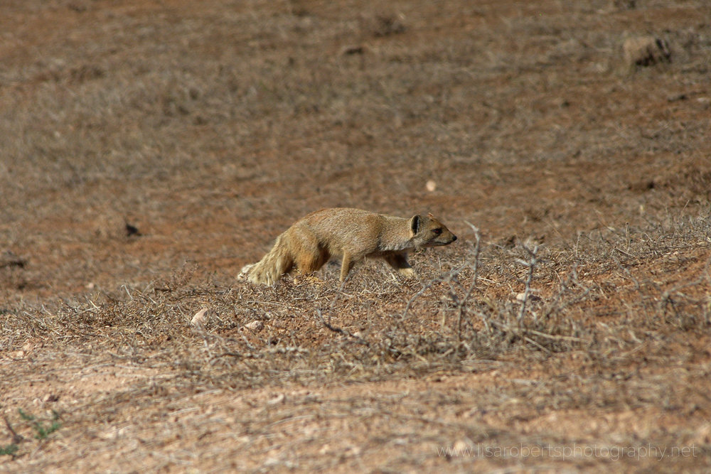 Mongoose,  Addo Elephant Park, Eastern Cape, South Africa