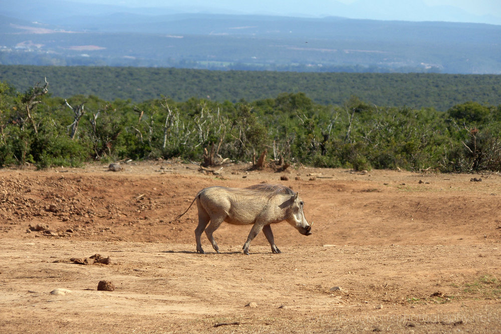 Warthog, Addo Elephant Park, Eastern Cape, South Africa
