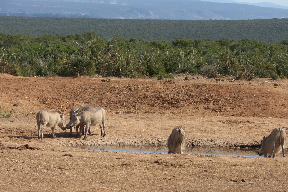 Warthogs, Addo Elephant Park, Eastern Cape, South Africa