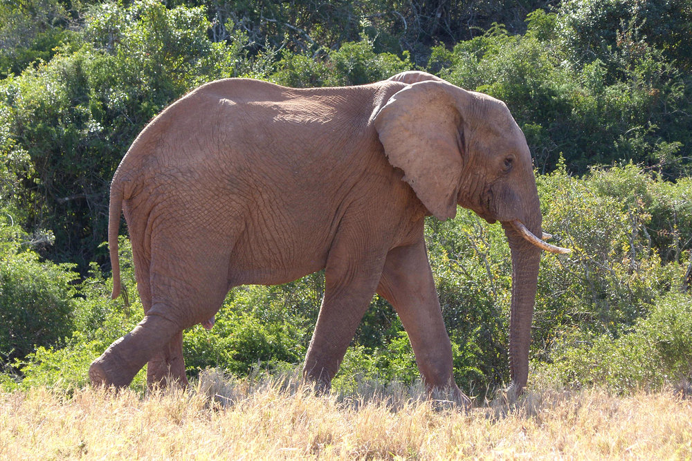 Elephant, Addo Elephant Park, Eastern Cape, South Africa