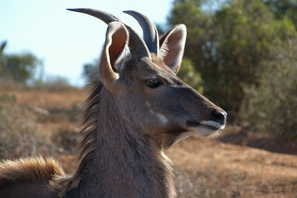 Male Impala, Addo Elephant Park, Eastern Cape, South Africa