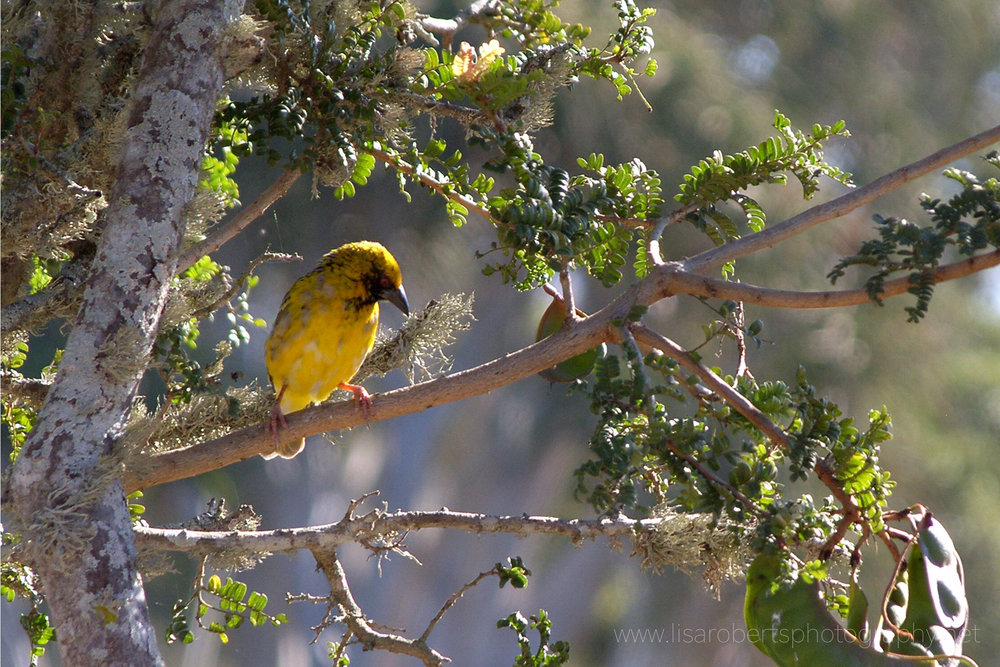 Golden weaver bird Eastern Cape, South Africa