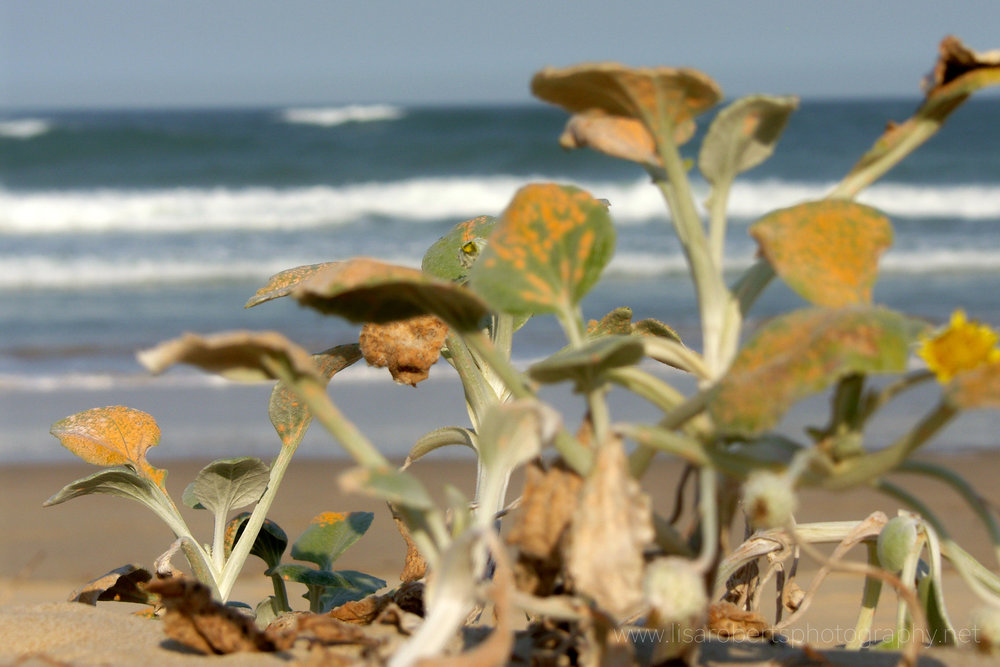 Beach shrub, Eastern Cape, South Africa