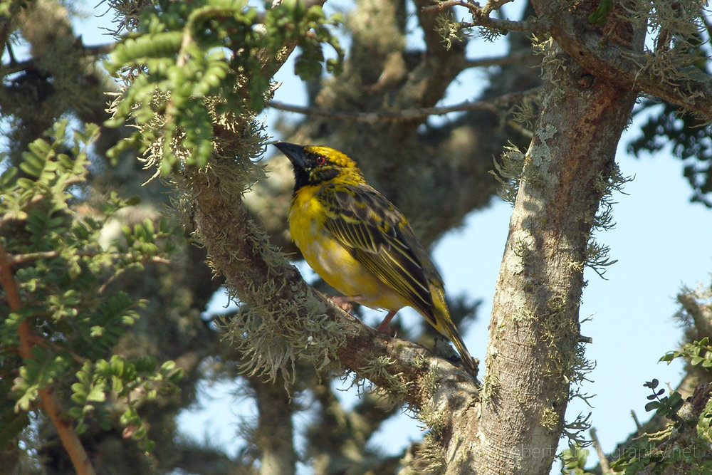 Cape Weaver bird,   Eastern Cape, South Africa