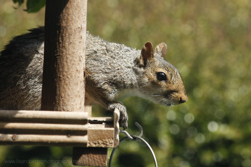 Grey Squirrel on bird table