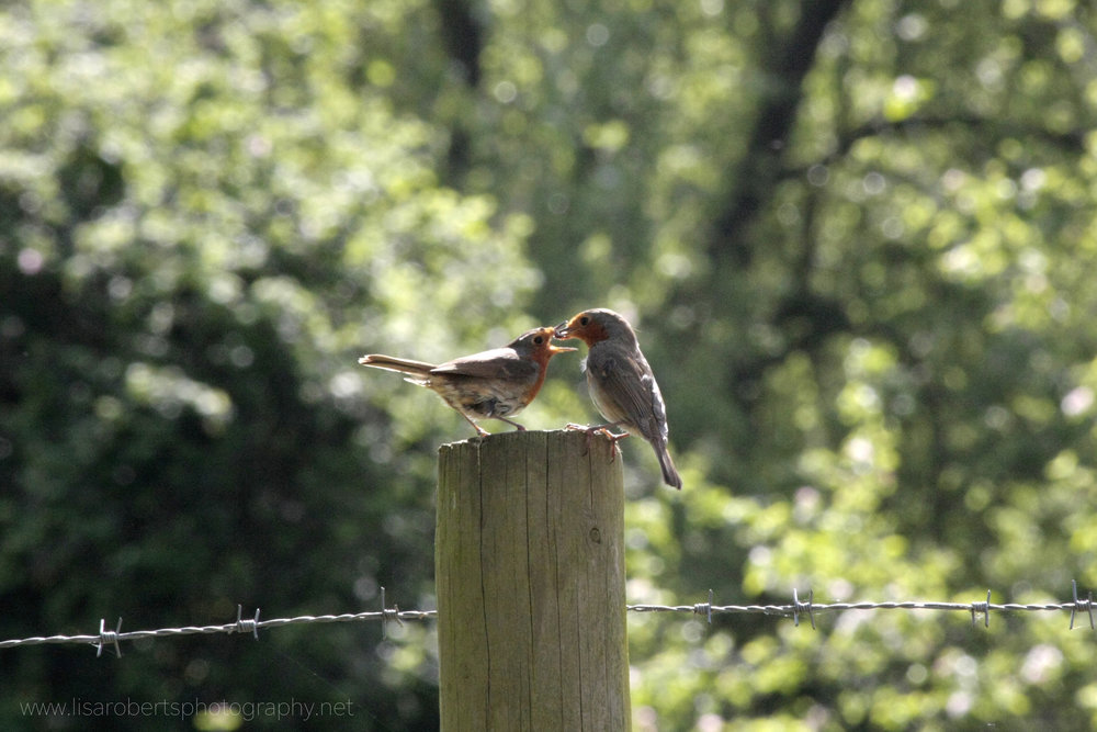 Robin feeding young