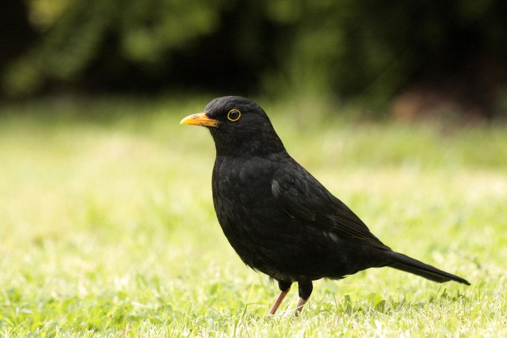 Male Blackbird, left profile