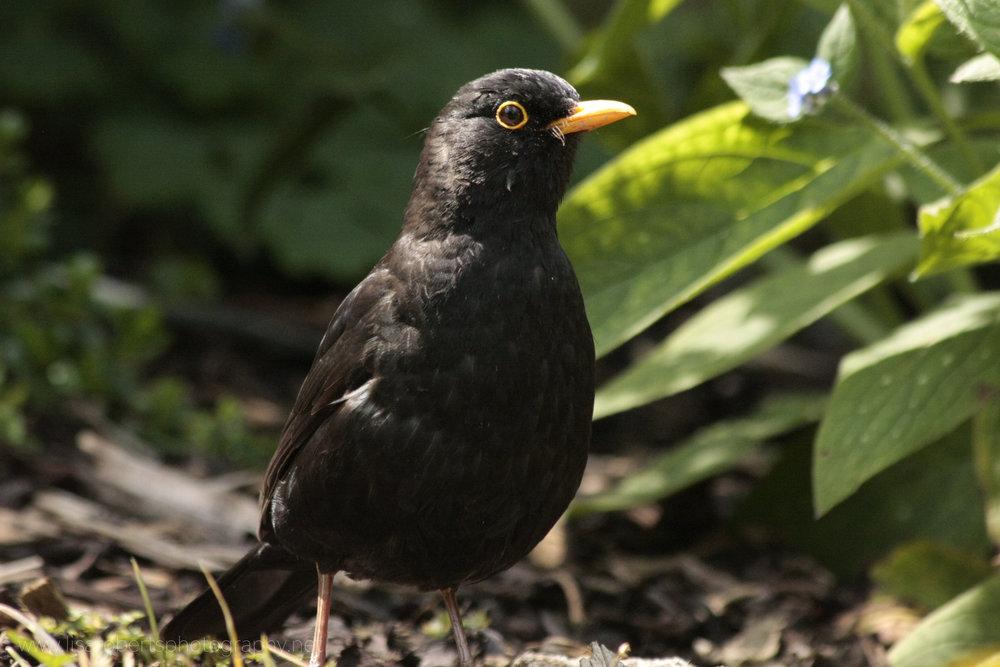Male Blackbird right profile
