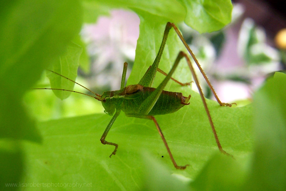 Male Green Bush Cricket
