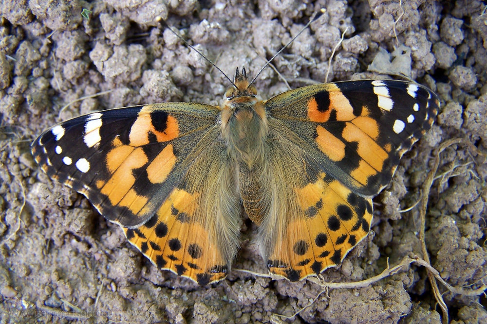 Painted Lady Butterfly, open wings