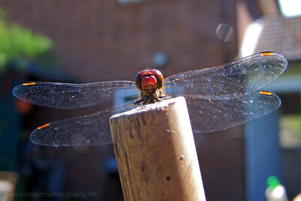Male Common Darter Dragonfly on post