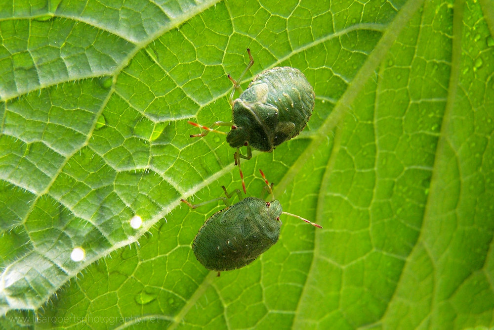 Green Shield Bugs (Stink Bugs) on leaf