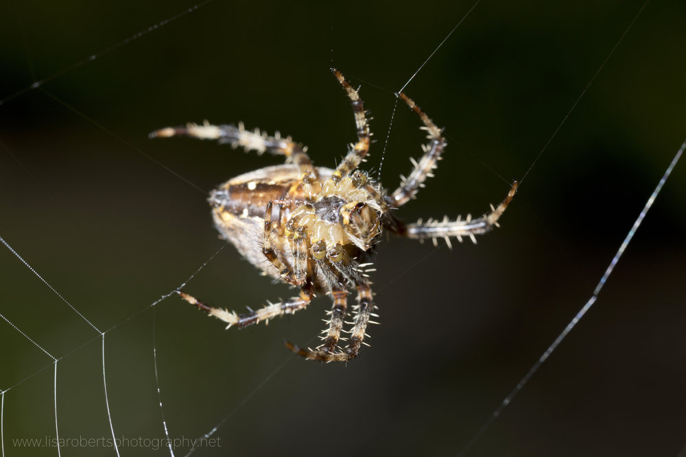 European Garden spider, view of abdomen