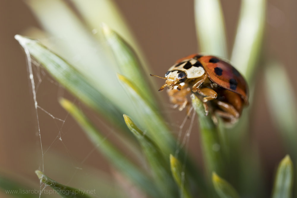 Ladybird on shrub