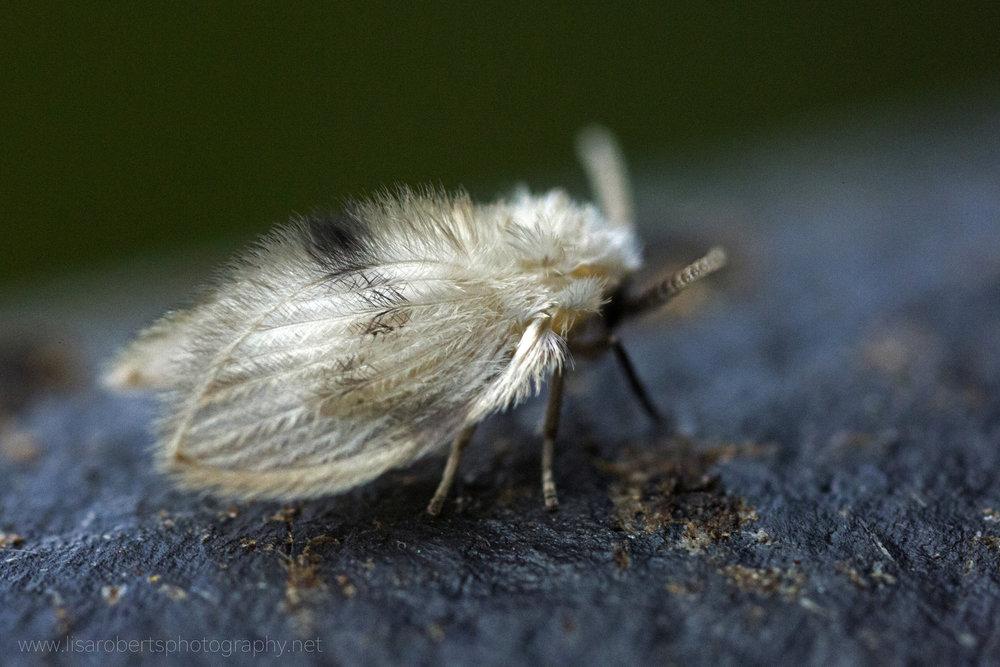 Owl-Midge/Moth-fly on compost bin