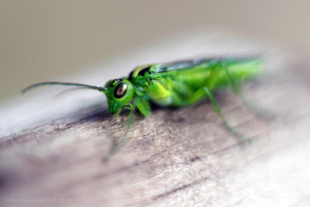 Green Sawfly