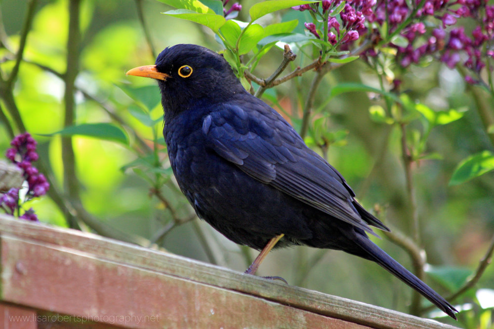 Male Blackbird by Lilac bush