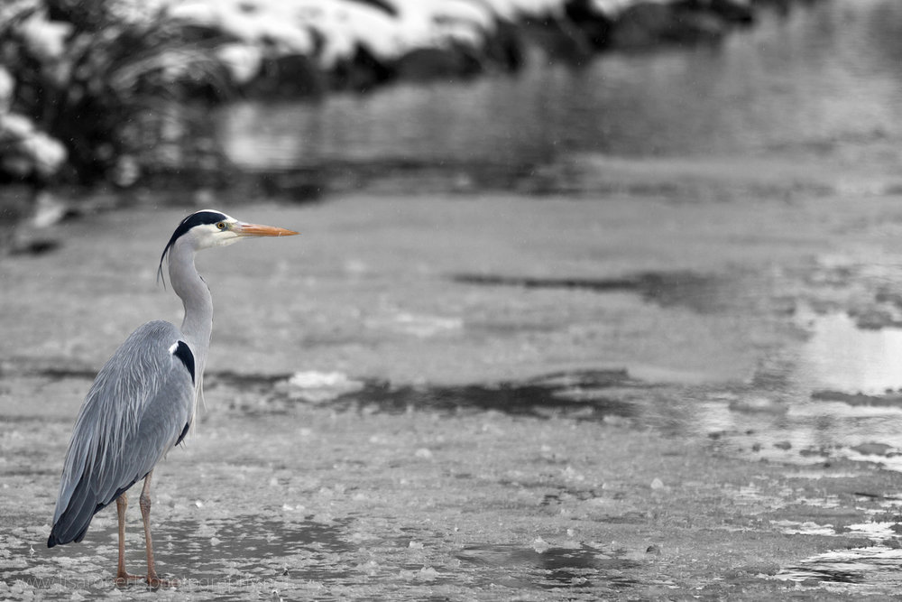 Heron on frozen pond