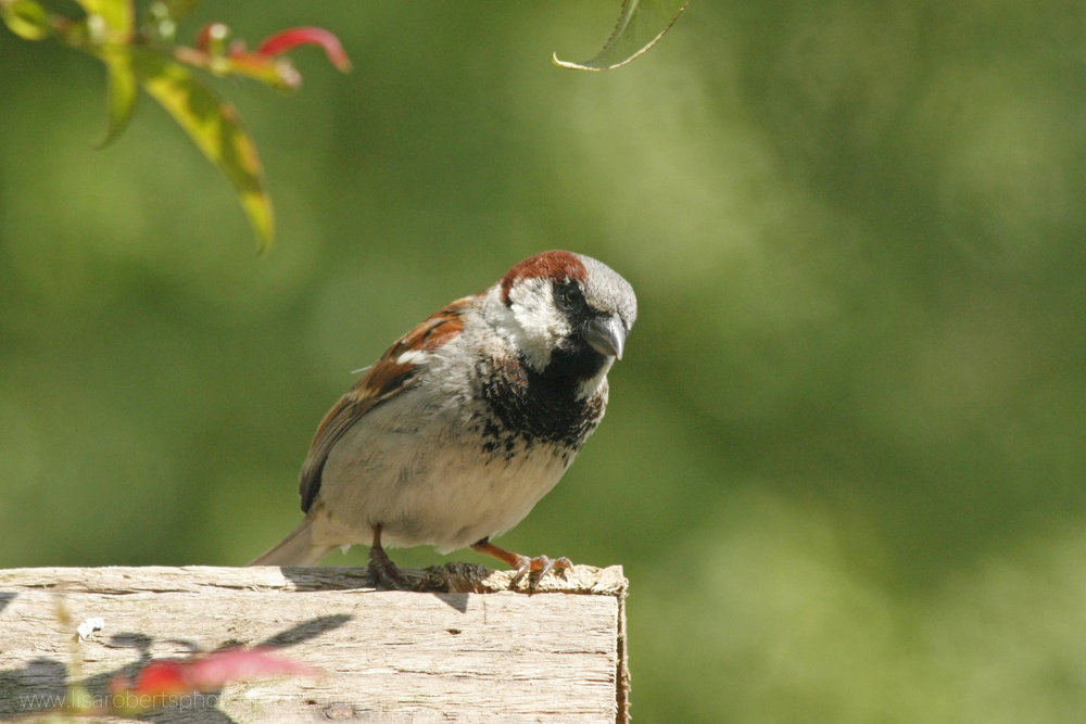House Sparrow on bird table roof