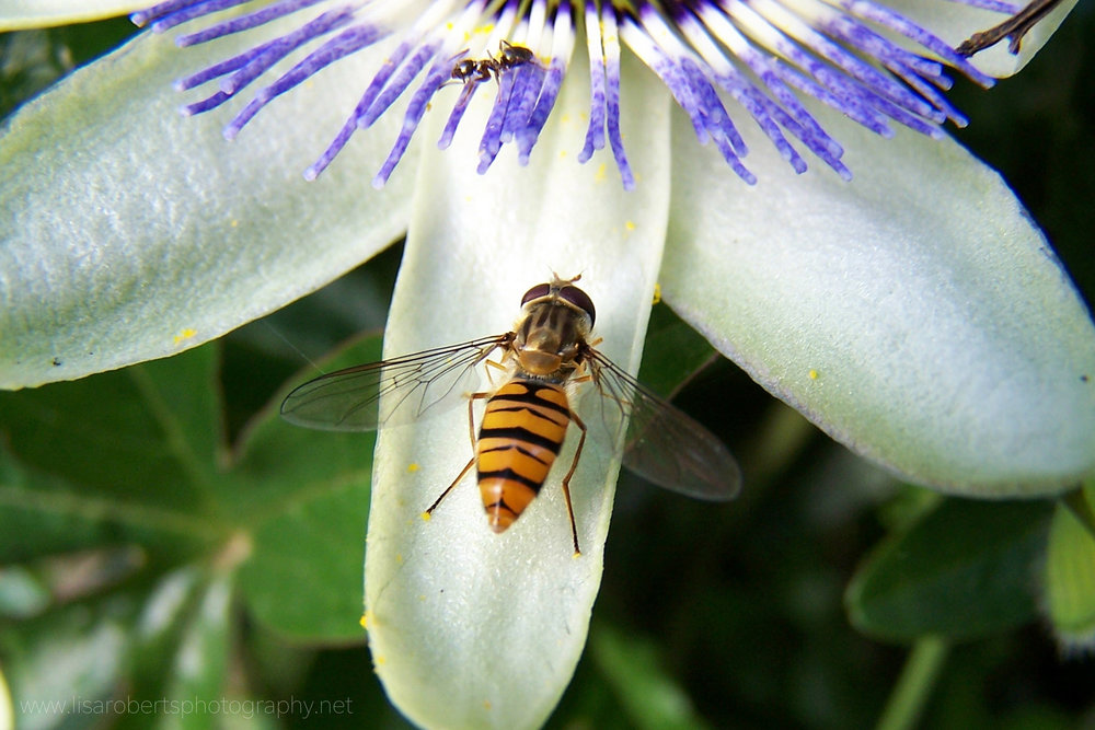 Hoverfly on Passion flower