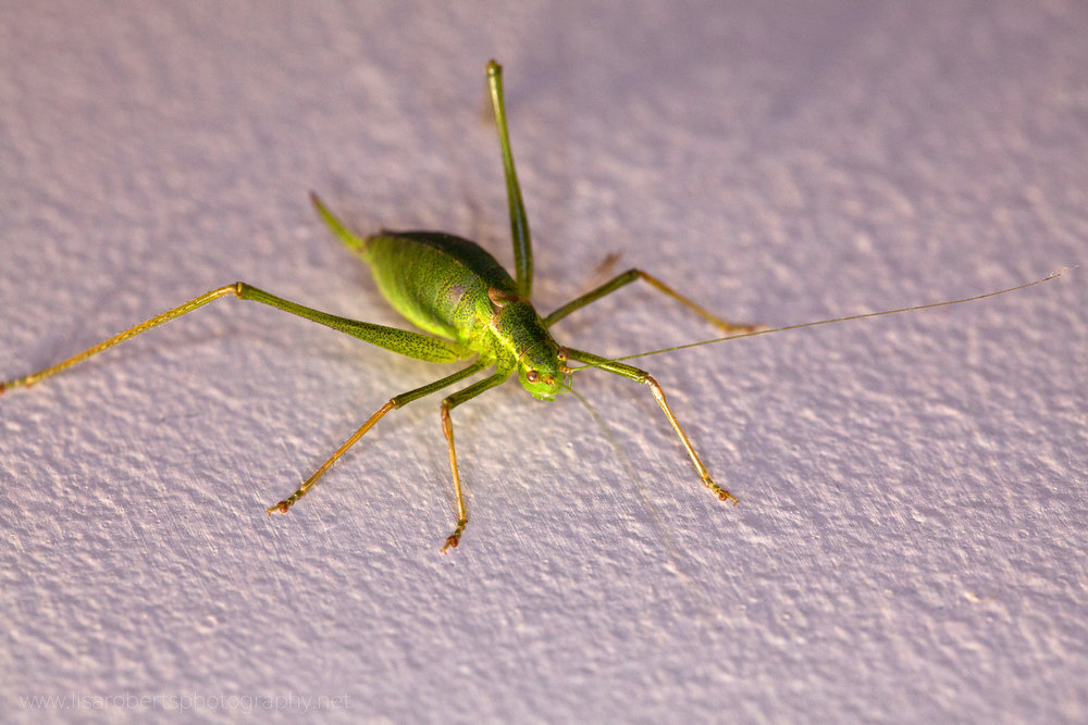 Female Speckled Bush Cricket
