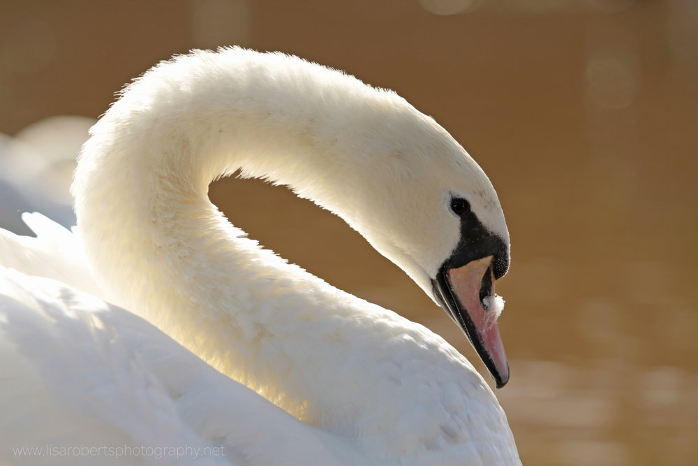 Female Swan with feather on beak