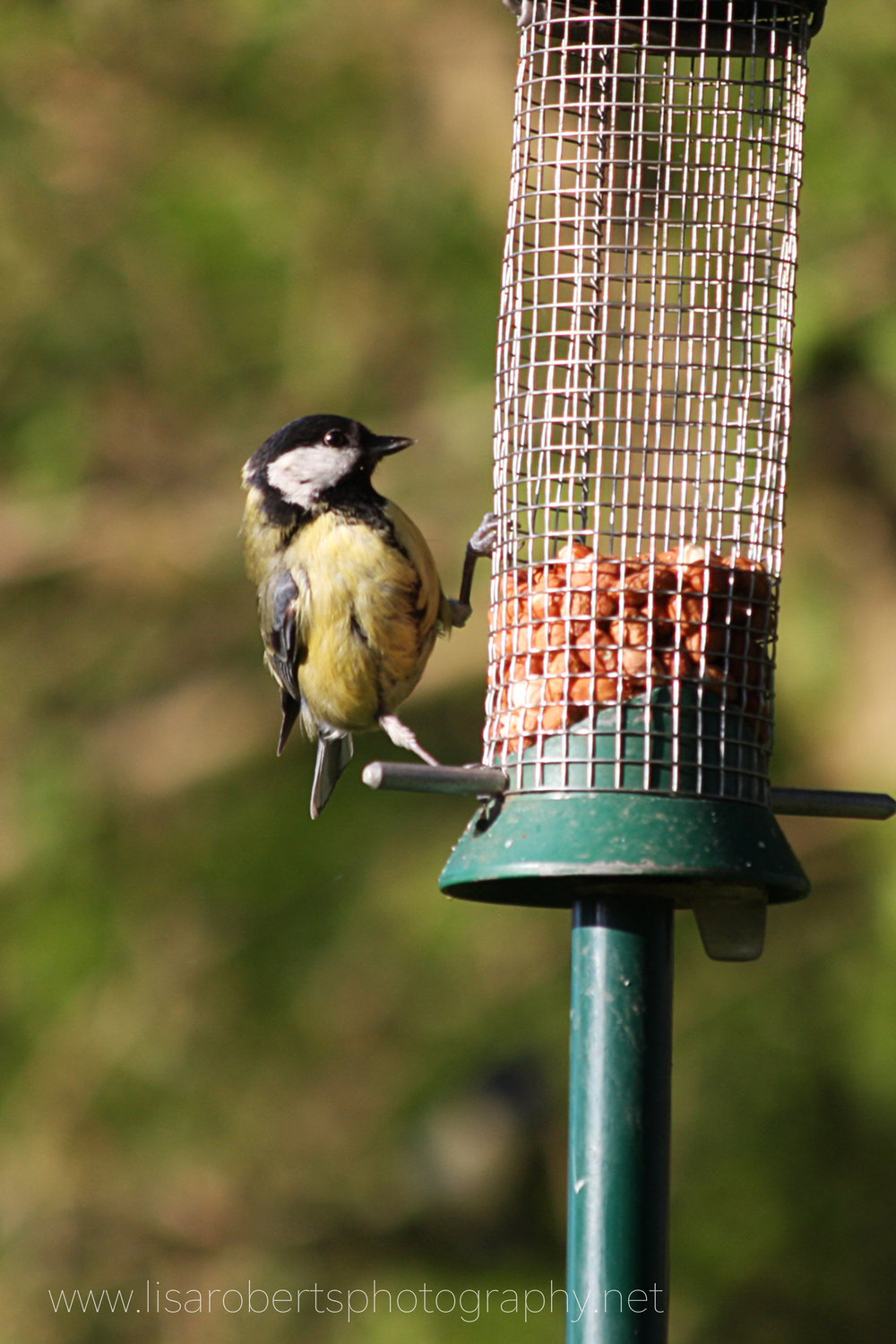 Female Great Tit on nuts