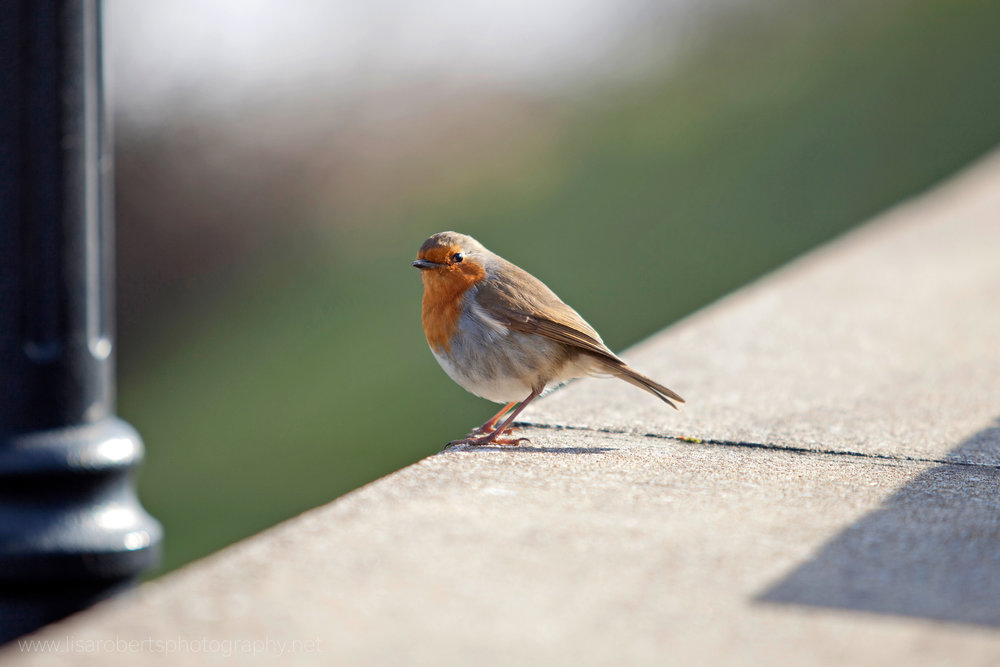 Robin on path