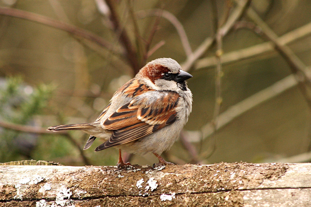 House Sparrow on fence