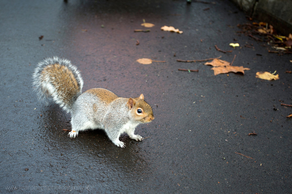 Squirrel on wet path