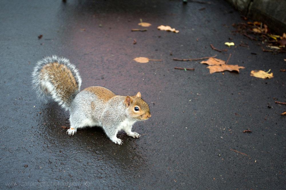 Squirrel on wet path 2